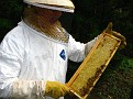 The Process of Extracting Honey / Inspecting the frames.