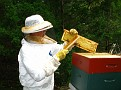 The Process of Extracting Honey / Brushing off the bees from a fully capped frame for extraction of honey.