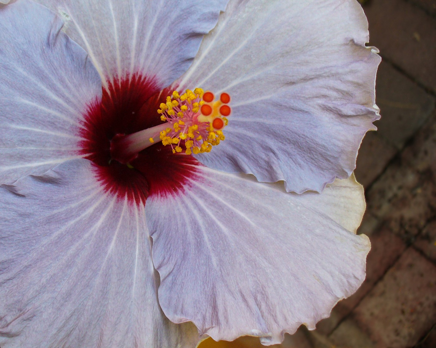 Hibiscus at Smithonian Institute