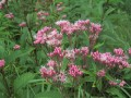 Spotted Joe-Pye Weed