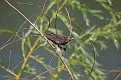 Female Red-winged Blackbird in Willow