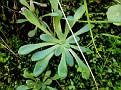 sedum or rosularia (1)