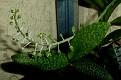 Ledebouria socialis 'Paucifolia' (1)