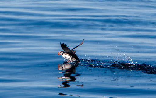Puffin taking off