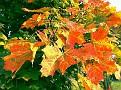 Herbst: Der Ahorn wird kräftig bunt