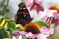 Red Admiral on Coneflower