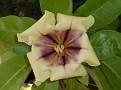 solandra maxima 26-1-2009