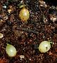 Haemanthus albiflos seeds from variegated plant  (10)