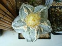 Astrophytum myriostigma cv. HAKUJYO RAMPOW