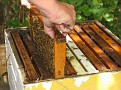 Removal of the top frames to for the purpose of honey collection.