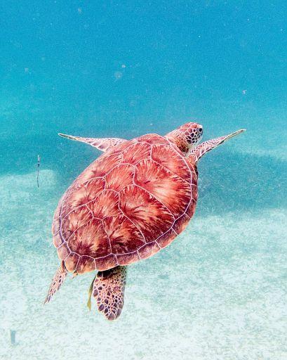 green sea turtle gliding