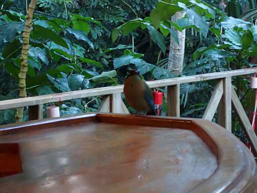 motmot on the bar
