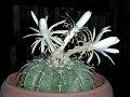 Discocactus crystallophylus