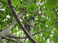 2012 05 24 1 Powerful Owl in the Botanical Garden