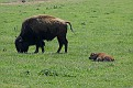 Bison and Calf #23